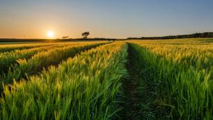 Rural landscape with view across fields of crops near Slapton, Devon at sunset.の写真素材 [FYI02706725]