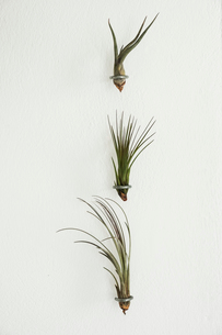 Close up of three air plants on white background.の写真素材 [FYI02706871]