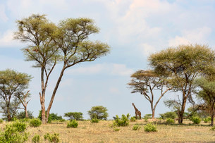 Giraffe (Giraffa camelopardalis), Tarangire, Tanzaniaの写真素材 [FYI02706989]