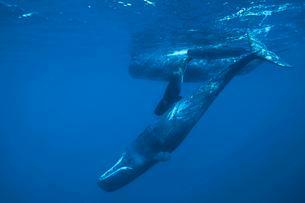 Sperm whales (Physeter macrocephalus) with calves, picoの写真素材 [FYI02707021]