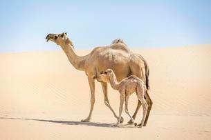 Dromedary (Camelus dromedarius) with young in sand dunesの写真素材 [FYI02707030]
