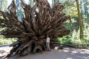 Fallen Monarch, roots belonging to redwood (Sequoioideae)の写真素材 [FYI02707069]