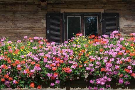 Geraniums or pelargoniums (Pelargonium) in front of aの写真素材 [FYI02707072]
