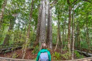 Tourist in front of four Kauri trees (Agathis australis)の写真素材 [FYI02707081]