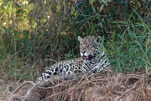 Female Jaguar (Panthera onca) laying on a riverbank, Cuiabaの写真素材 [FYI02707084]