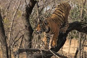 Royal Bengal tiger (Panthera tigris tigris), cub climbingの写真素材 [FYI02707087]