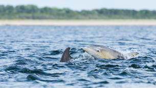 Common bottlenose dolphin (Tursiops truncatus) in bayの写真素材 [FYI02707096]