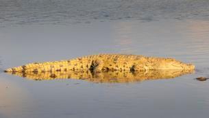 Nile crocodile (Crocodylus niloticus), resting on aの写真素材 [FYI02707105]