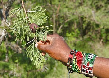 Maasai hand holding whistling thorn (Acacia drepanolobium)の写真素材 [FYI02707109]