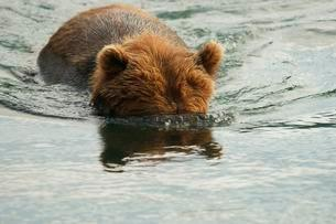 Brown bear (Ursus arctos) with head under water, fishingの写真素材 [FYI02707110]