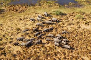 African Elephants (Loxodonta africana), breeding herdの写真素材 [FYI02707118]