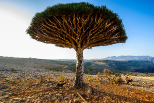 Socotra Dragon Tree or Dragon Blood Tree (Dracaenaの写真素材 [FYI02707150]