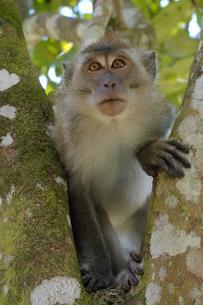 Crab-eating macaque or long-tailed macaque (Macacaの写真素材 [FYI02707158]
