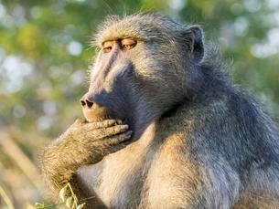 Yellow Baboon (Papio cynocephalus) while eating with handの写真素材 [FYI02707160]