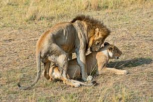 Pair of Lions (Panthera leo), mating, Maasai Mara Nationalの写真素材 [FYI02707162]