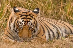 Bengal Tiger (Panthera tigris tigris) resting, Ranthambhoreの写真素材 [FYI02707165]