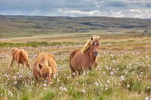 Icelandic horses (Equidae), Hvammstangi, Hvammstangaの写真素材 [FYI02707168]
