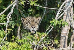Male Jaguar (Panthera onca) hidden on a riverbank, Cuiabaの写真素材 [FYI02707179]