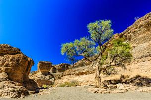 Camel thorn (Acacia erioloba) in Sesriem Canyonの写真素材 [FYI02707180]
