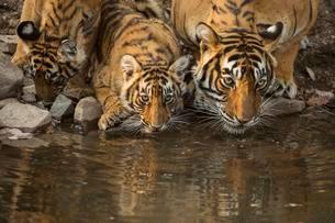 Bengal tigers (Panthera tigris tigris), tigress with herの写真素材 [FYI02707191]