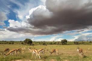 Springboks (Antidorcas marsupialis), large herd grazing inの写真素材 [FYI02707199]