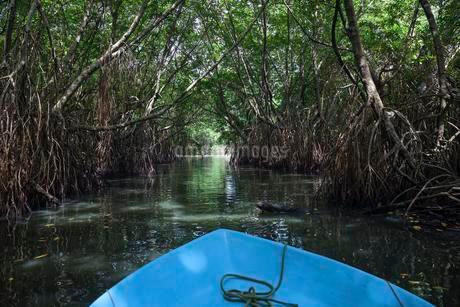 Boat ride through mangrove forest, branch of Bentota Gangaの写真素材 [FYI02707202]