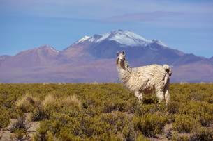 Llama (Lama glama) in front of snow-capped Andes, Uyuniの写真素材 [FYI02707211]