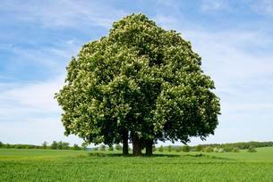 Horse-chestnut or conker tree (Aesculus hippocastanum)の写真素材 [FYI02707218]