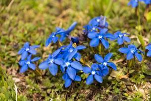Spring Gentian (Gentiana verna), Allgau Alps, Upperの写真素材 [FYI02707219]