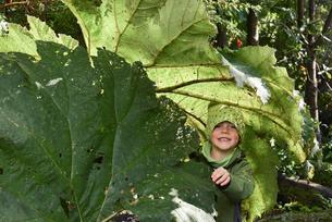 Little boy under Giant rhubarb (Gunnera manicata), Elの写真素材 [FYI02707220]
