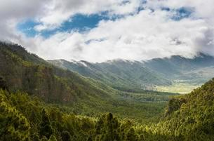 View across a valley covered with Canary Island Pinesの写真素材 [FYI02707221]