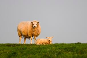 Sheep (Ovis orientalis aries) with lamb on meadow, Texelの写真素材 [FYI02707223]
