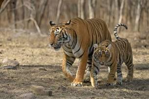 Royal Bengal tigers (Panthera tigris tigris), mother andの写真素材 [FYI02707252]