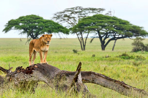 Lion (Panthera leo) on rotten tree, Serengeti, Tanzaniaの写真素材 [FYI02707265]