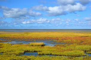 Glasswort (Salicornia europaea agg.) with autumn colors onの写真素材 [FYI02707289]