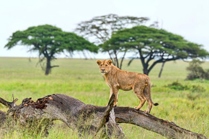 Lion (Panthera leo) on rotten tree, Serengeti, Tanzaniaの写真素材 [FYI02707302]