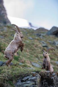 Alpine ibex (Capra ibex), also steinbock or Ibex, fightingの写真素材 [FYI02707304]