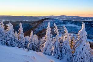 Morning light, snow-covered pines, GroBer Arber, Bavarianの写真素材 [FYI02707318]