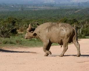 Cape Buffalo (Syncerus caffer), after a mud bath, Addoの写真素材 [FYI02707332]