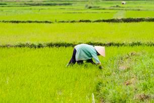 Worker, farmer in a green rice field, Quang Nam, Vietnamの写真素材 [FYI02707333]