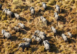 African Elephants (Loxodonta africana), breeding herdの写真素材 [FYI02707338]