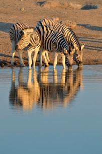 Burchell's Zebras (Equus quagga burchelli), drinking at aの写真素材 [FYI02707342]