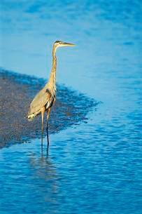 Great blue heron (Ardea herodias) standing in waterの写真素材 [FYI02707350]