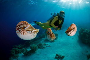 Scuba diver watching Palau Nautiluses (Nautilusの写真素材 [FYI02707351]