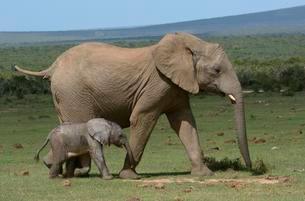 African Bush Elephants (Loxodonta africana), adult withの写真素材 [FYI02707356]