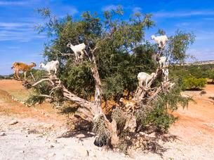 Goats (Capra) feeding on Argan fruits or Argan nuts on anの写真素材 [FYI02707373]