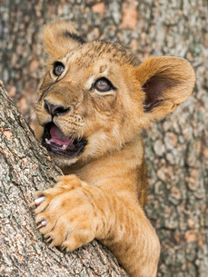 Lion cub (Panthera leo), 3 months, captiveの写真素材 [FYI02707378]