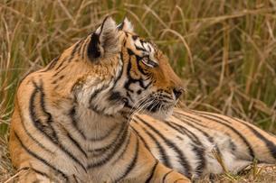 Bengal Tiger (Panthera tigris tigris) resting, Ranthambhoreの写真素材 [FYI02707391]