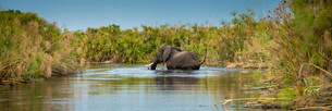 An African Elephant (Loxodonta africana) crossing a marshの写真素材 [FYI02707394]