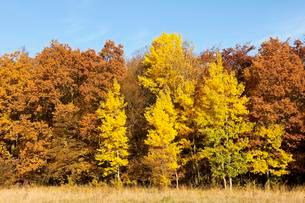 Forest in autumn with yellow aspens (Populus tremula)の写真素材 [FYI02707395]